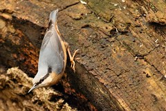 Nuthatch Posing (Mrs Airwolfhound) Tags: lackford suffolk lakes birds wildlife canon 70d nature winter nuthatch