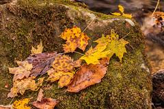 Leaves By the Stream (Back Road Photography (Kevin W. Jerrell)) Tags: autumn autumncolors autumnbeauty leaves nikond7200 backroadphotography stonemountain leecountyvirginia rosehillva fall fallcolor