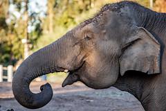 Asian Elephant - Elephas maximus (Bob Worthington Photography) Tags: zoo122918 sandiegozoo canon7dmarkii canon70200f28lisii