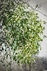 Mistletoe (enneafive) Tags: mistletoe maretak wood green berries parasite trees fujifilm xt2 affinityphoto hesbania belgium limburg