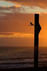 Waiting (Jarman Images) Tags: bird oceansunset sea shoreham sky
