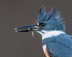 Belted Kingfisher (Jerry_a) Tags: birds bombayhook kingfisher beltedkingfisher canon1dxmarkii canon600mmf4isusmii wildlifecanon600mmf4 wildlife nature delaware bombayhooknwr