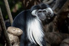 Colobus Monkey (Bob Worthington Photography) Tags: zoo122918 sandiegozoo canon7dmarkii canon70200f28lisii