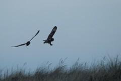 IMG_1868 (LezFoto) Tags: shortearedowl asioflammeus forviennr aberdeenshire scotland canoneos700d sigma 700d canon 120400mmf4556dgapooshsm digitalslr dslr canonphotography sigmalens strigiformes birdofprey raptor