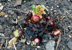 December 24th, 2018 A bit early for rhubarb to be sprouting? (karenblakeman) Tags: cavershamgarden caversham uk rhubarb food 2018 2018pad december reading berkshire