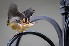 Time to Fly (Tammy Strot) Tags: bird birds fly flying takingflight photography birdphotography canon canonusa canonphotography outdoor outdoorphotography outside outsidephotography nature naturephotography closeup upclose