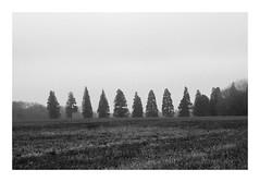 L'allée des séquoias (DavidB1977) Tags: france îledefrance seineetmarne ferrièresenbrie fujifilm x100f monochrome bw nb taffarette arbres séquoias