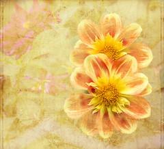 Textures florales (andrscho) Tags: botanique fleurs textures