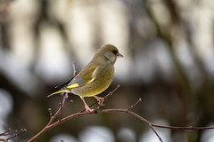 i have the overview (husiphoto) Tags: bird vogel green grün finch fink tier animal gelb yellow natur nature nikon d750 tamron 100400mm