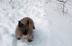 Sedum - 1/13/19 (myvreni) Tags: vermont winter snow nature outdoors animals dogs cairnterriers pets
