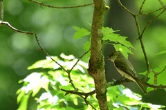 2018 05 20 132 Back country, WV (Mark Baker.) Tags: 2018 america baker braxton county mark may north us usa virginia wv west bird day flycatcher olivesided outdoor photo photograph picsmark rural spring states united wildlife