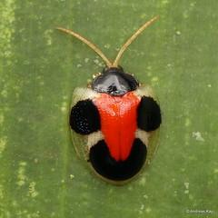 Tortoise beetle with Smiley, Spilophora cuneata, Cassidinae (Ecuador Megadiverso) Tags: andreaskay beetle cassidinae chrysomelidae coleoptera ecuador leafbeetle spilophoracuneata tortoisebeetle