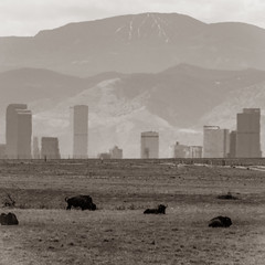 Bison and Skyscrapers (BeerAndLoathing) Tags: 2018 buffalo usa denver heathaze mountains city cityscape canon bison downtowndenver rockymountainarsenal wildlife 77d skyscrapers sepia outdoors blackwhite bw skyline spring april blackandwhite sigma150600mm canoneos77d