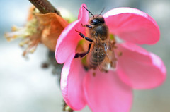 honey bee on Chaenomeles × superba 'Pink Lady' 2/2 (conall..) Tags: honey bee chaenomeles × superba pink lady honeybee chaenomeles×superba pinklady japanese quince japanesequince climb trained wall rowallane national trust saintfield walled garden northernireland nikon afs nikkor f18g lens 50mm prime primelens nikonafsnikkorf18g closeup raynox dcr250 macro