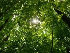 Buchenlicht (Jörg Paul Kaspari) Tags: buche fagussylvatica wald buchenwald licht buchenlicht blatt blätter leaf leaves light