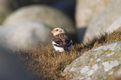 Snow Bunting at Skeie S24A0652 (grebberg) Tags: skeie klepp rogaland norway december 2018 snowbunting plectrophenaxnivalis bunting plectrophenax bird