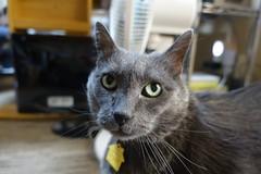 Happier Yuba (sjrankin) Tags: edited animal cat kitahiroshima hokkaido 31january2019 floor yuba closeup