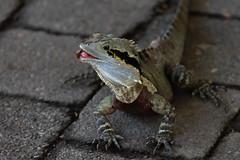 Strawberry Breakfast (armct) Tags: physignathuslesueurii waterdragon mature water dragon reptile lizard goldcoast queensland currumbin currumbinwildlifesanctuary wild strawberry