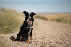HLL_6717.jpg (Helle Lindholm Larsen) Tags: dog bordercollie outdoor beach 52weekesfordogs frisbee
