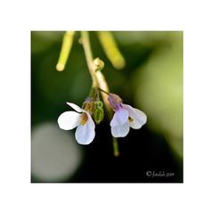 Pareja blanca - Ravenissa (Diplotaxis erucoides) (EFD-fotolab) Tags: diplotaxiserucoides ravenissa nikkor105mm nikond610 macrofotografia macro nikon españa invierno flores floressilvestres flowers
