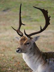Fallow Deer (Dutch Dunes) Tags: damhert duin bos dutchdunes amsterdamsewaterleidingduinen awd fallowdeer