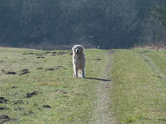 Buster Gone out at the top Explored for his final appearance. (dave p brecks) Tags: buster goldenretriever petdog rip