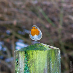 Warburg Reserve, Bix Bottom (FlickrDelusions) Tags: warburgnaturereserve aonb bbowt chilternhills oxfordshire chilterns naturereserve robin henleyonthames england unitedkingdom gb