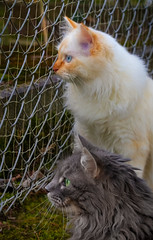 The most interesting things are always on the other side of the fence (FocusPocus Photography) Tags: fynn tofu katze mkater cat chat gato tier animal haustier pet zaun fence brüder brothers hff