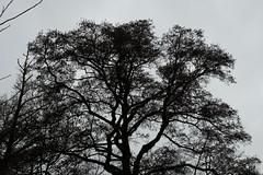 Nackter Baum (LeoArtifex) Tags: bnw naturfotografie winterzeit schwarzweiss baum