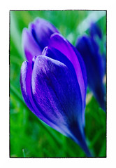 Purple Crocus (Alex . Wendes) Tags: purple crocus macro flower flowermacro lensbaby lensbabycomposor sweet35 sweet35optic 12mmextensiontube f8 d7000 nikond7000