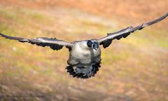 Canada Goose (Kevin James54) Tags: canadagoose nikond850 tamron150600mm wilmington animals avian bird brantacanadensis kevingianniniphotocom