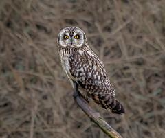 "Short-eared Owl ""ear tufts down"" (Steve D'Cruze) Tags: asio flammeus short eared owl nikon d500 sigma perched"