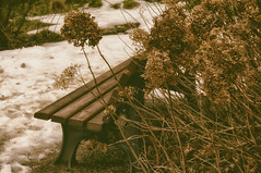 Hydrangia and Snow - HBM! (suzanne~) Tags: bench benchmonday winter botanicalgarden snow hydrangea munich bavaria germany sepia