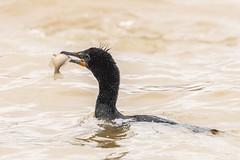 DOUBLE-CRESTED CORMORANT w/FISH (nsxbirder) Tags: batavia birds clermontcounty ohio eastforkstatepark doublecrestedcormorant us fish