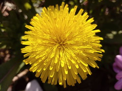 Ancient Flowers (Serene Mountain) Tags: dente leon flower yellow pink green darkgreen garden grass nature closeup macro