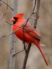 Cardinal, Cardinalis cardinalis, Male (22) (Herman Giethoorn) Tags: cardinal red bird