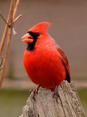 Cardinal, Cardinalis cardinalis, Male (7) (Herman Giethoorn) Tags: cardinal red bird