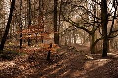 Little Brother (vincocamm) Tags: trees forest beech gold golden leaf leaves winter february sun sunlight spotlight crepuscular mist misty nikon d5500 cumbria shade shadow twigs branches orange