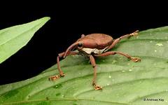 Weevil, Cholus sp., Curculionidae (Ecuador Megadiverso) Tags: andreaskay beetle cholussp coleoptera curculionidae ecuador jardinbotanicolasorquideas weevil