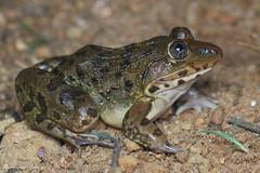 Hoplobatrachus crassus (Fernando_Iglesias) Tags: sri lanka srilanka ceylon frogs amphibians pseudophilautus fejervarja duttaphrynus toads polypedates