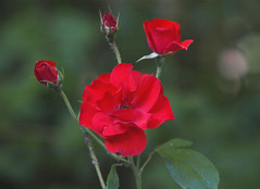 Red Roses for Love ... (Irene, W. Van. BC) Tags: redrosesforlove red roses allflowers allroses rose macros redflowers redroses redrosebuds shrubs shrubbery thornyshrubs petals beautifulnature blooms blossoms beautifulflowers lovelynature lovelyflowers lovelypetals 1001nights 1001nightsmagiccity 1001nightsmagicgarden