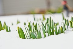 Beautiful harbingers of Spring! (ineedathis, Everyday I get up, it's a great day!) Tags: daffodil narcissus flower snowstorm snow ice cold garden nature winter raisedflowerbed nikond750 outdoor plant shoots