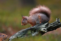Red Squirrel (debsiep1) Tags: red squirrel cairngorms scotland