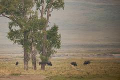Bruissement des feuilles au vent (Samuel Raison) Tags: bison bisons buffalos lamarvalley tree arbre wildlife nature yellowstone yellowstonenationalpark yellowstonewildlife nikon nikond3 nikon4600mmafsgvr