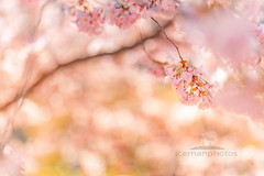 Spring beauty (icemanphotos) Tags: spring cherry sunset soft calmness blur nature petal summer blurred macro blossom sun sunrise gardening blossoming botany springtime bokeh growth fresh blooming outdoor retro leaf flower bud detail botanical bloom white season sunny branch romance instagram freshness april natural light background vintage plant closeup orchard tree morning warm aromatherapy beam
