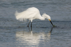 Caught in the act (ChicagoBob46) Tags: snowyegret egret bird florida fortmyers bunchebeach nature wildlife naturethroughthelens ngc coth5 npc