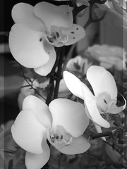 harada-flowers-75 (annie harada) Tags: flowers hana blumen fleurs bouquet noir et blanc black white