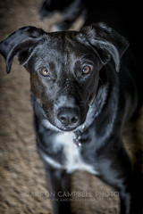 Little Rose, 2019.03.12 (Aaron Glenn Campbell) Tags: blacklab puppy shelter foreverhome missrose doggo pupper portrait knoxcounty knoxville tennessee depthoffield shallow bokeh sony a6000 ilce6000 mirrorless canon ef50mmf18ii primelens fotodiox lensadapter