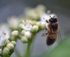 honey bee on Viburnum tinus 'Gwenllian' (conall..) Tags: honey bee viburnum tinus 'gwenllian' honeybee viburnumtinus gwenllian pollen pollination load colour caramel lightbrown cream marrow dof nikon afs nikkor f18g lens 50mm prime primelens nikonafsnikkorf18g closeup raynox dcr250 macro county down tullynacree nw551041 annacloy garden northernireland apis mellifera apismellifera flower pollenload desenfoque outoffocus narrow selective focus anther pollengrains