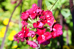 Vacances_0834 (Joanbrebo) Tags: mainau konstanz badenwürttemberg de deutschland canoneos80d eosd autofocus efs1855mmf3556isstm flors flores flowers fiori fleur blumen blossom